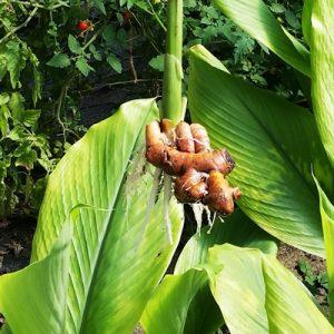 Fresh Ginger Root